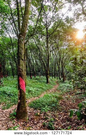 Rubber trees on rubber plantation in Guatemala