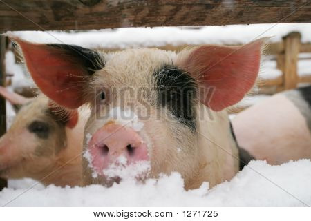 Cerdo, cochinillo