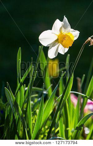 Narcissus flower in springtime in Fislisbach, Switzerland