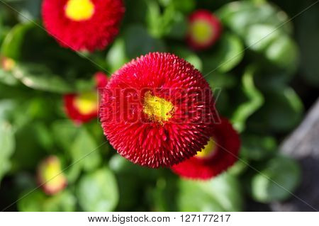 Red and filled cultivated daisies in a garden. ** Note: Shallow depth of field