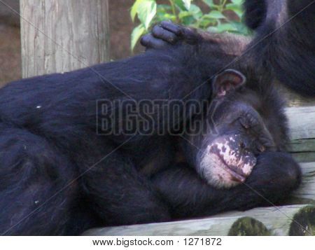Napping Chimpanzee