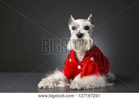 Portrait of schnauzer dog white on gray background.