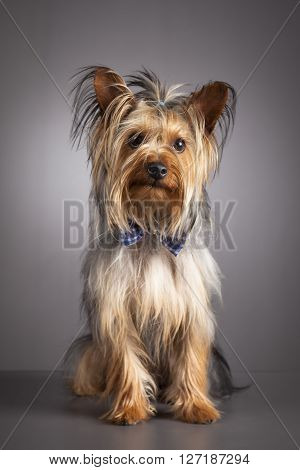 Portrait of Yorkshire terrier dog on gray background with blue bow tie
