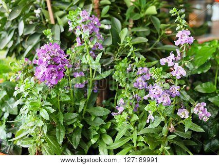 Beautiful Flower Purple Sage Flowers or Salvia Flowers with Green Leaves.