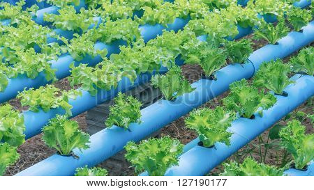The organic hydroponic vegetable cultivation farm .