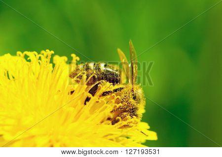 Bee on yellow dandelion flower macro