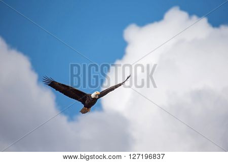 Bald eagle soars beneath the clouds overhead