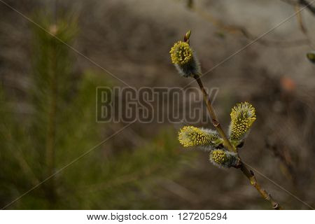 Flowering pussy-willow branch. Spring background macro photo.