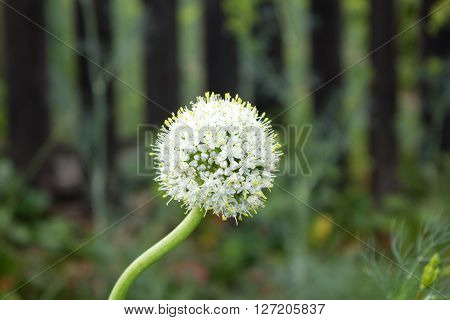 Inflorescence Seed Onions In The Garden, Growing In Spring