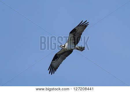Osprey soaring high in blue sky. An osprey in north Idaho soars up in the clear blue sky.