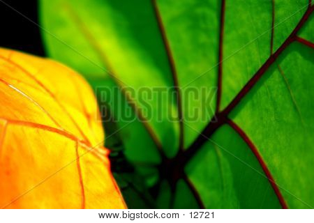 Beach Grape Leaf
