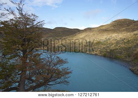 Autumn foliage on a tree overlooking the blue waters of Rio Paine in Torres del Paine National Park, Patagonia, Chile.