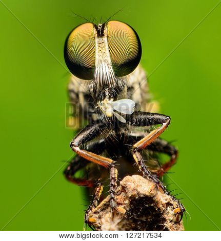 Robber fly eating on branch, The Robber fly on green background
