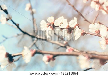 Blooming cherry tree twigs in spring close up. Retro style