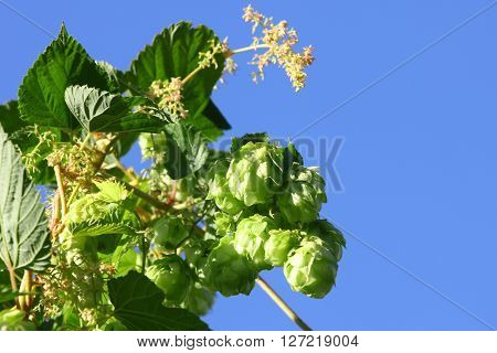 ripe buds and leaves of wild hop plant