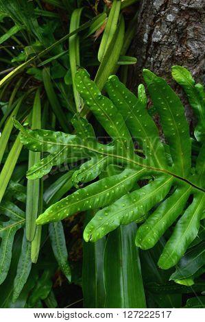 fresh green dianella caerulea plants in nature garden