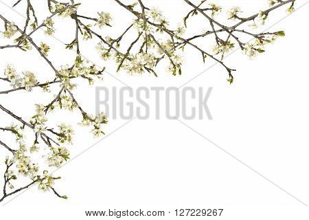 Twigs plum tree with white flowers on a white background.