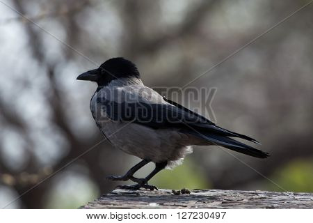 Hooded crow (Corvus cornix). Wild life animal.