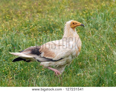 Egyptian vulture walking in grass in its habitat