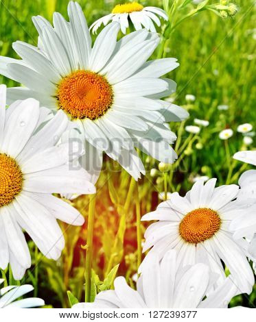 Wildflowers daisies. Summer landscape. wildflowers white chamomile