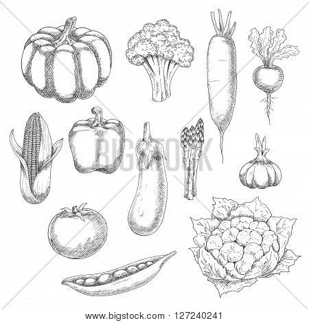 Eco food sketch illustration with organic farm broccoli, pumpkin, tomato, bell pepper, eggplant, corn, sweet peas, garlic, cauliflower, beet, asparagus and daikon vegetables. Old fashioned recipe book or agriculture theme design usage