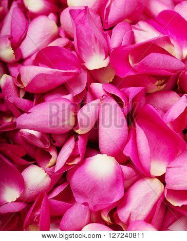 Close up pink rose petal background