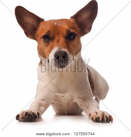 Jack Russell Terrier on a white background Studio shot