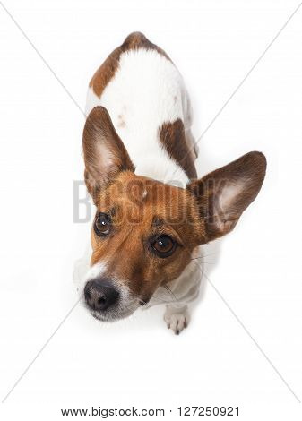 Jack Russell Terrier on a white studio background