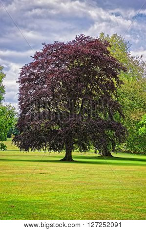 Big old tree with red leaves in Park of Audley End House in Essex in England. It is a medieval county house. Now it is under protection of the English Heritage.