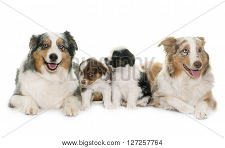 adult and puppies australian shepherd in front of white background