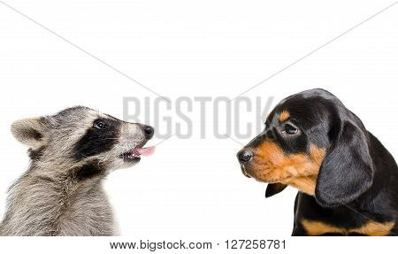 Portrait of funny raccoon and puppy breed Slovakian Hound isolated on white background