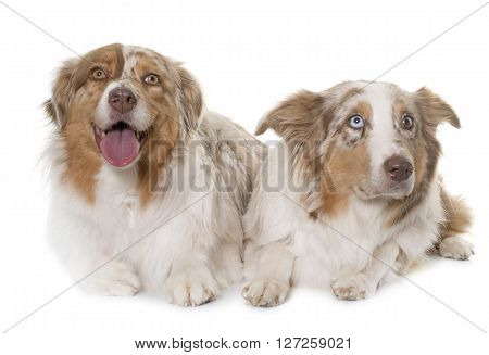 two australian shepherd in front of white background