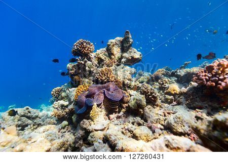 Beautiful coral reef and a giant blue clam underwater at Maldives