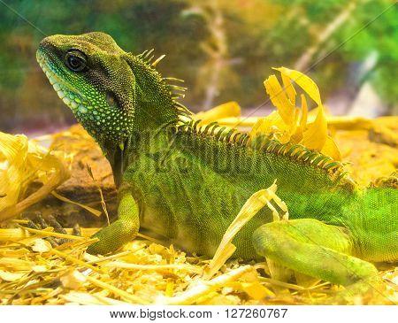 Closeup Portrait Of A Green Iguana (Iguana iguana)