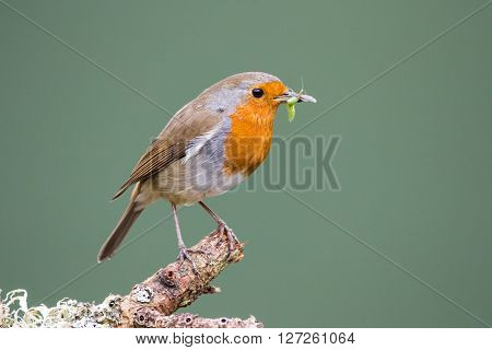 Robin (Erithacus rubecula) perched on a branch in spring holding a beak full of insects preparing to feed its young