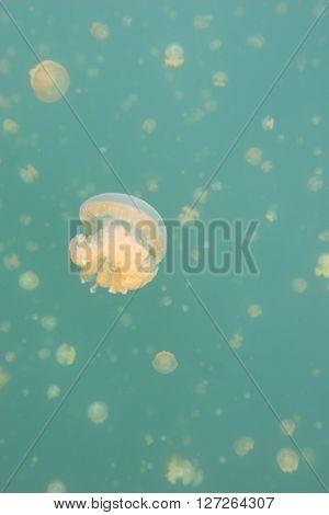Jellyfish Medusa Underwater