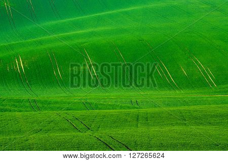 Green grass wavy fields with tracks  suitable for backgrounds or wallpapers, natural seasonal landscape