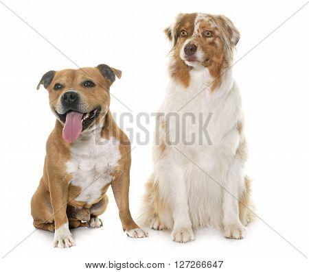 staffordshire bull terrier and australian shepherd in front of white background