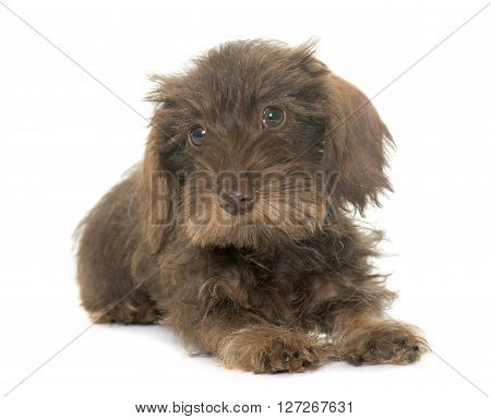puppy Wire haired dachshund in front of white background