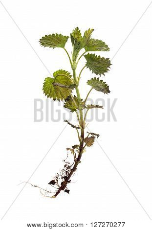 sprig of nettles by the roots,green plant on a white background