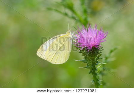 Beautiful Cabbage butterfly (Pieris brassicae) on a thistle flower