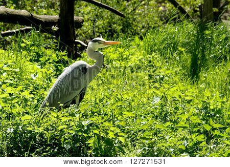 Grey heron in green swamp on a sunny day