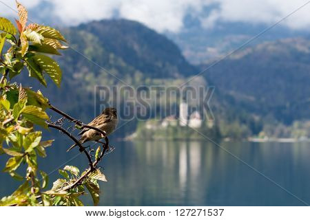 Sparrow in a branch at Lake Bled