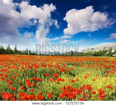 Wonderful view field of red poppies. Clear sky on a sunny day with fluffy clouds. Picturesque and gorgeous scene. Location place Crimea, Ukraine, Europe. Artistic picture. Beauty world.