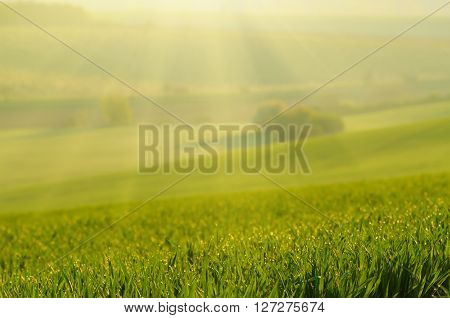 Sunny green grass  blurred field suitable for backgrounds or wallpapers, natural seasonal landscape