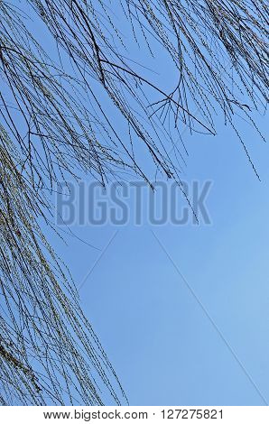 Willow tree branch in the spring against blue sky