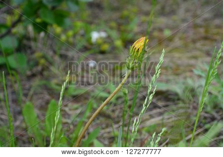 young dandelion in spring forest, in the Taiga