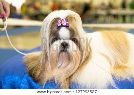 Well groomed Shih-tzu with long fur portrait - at the exhibition
