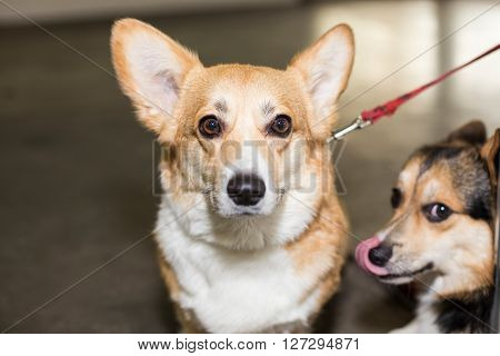 Well groomed Pembroke Welsh Corgi - at the exhibition