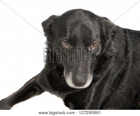 A Black Dog On White Background